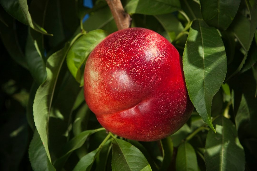 Agriculture - Closeup of an Arctic Pride nectarine on the tree, ripe and ready for harvest / near Dinuba, California, USA.